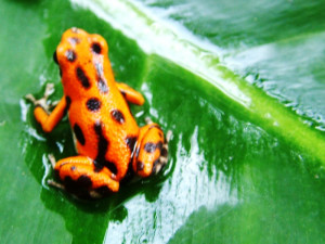 Encounter beautiful nature when you learn Spanish in Costa Rica: Brightly colored poisonous frog