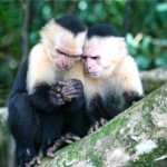 White faced monkeys investigate a nut
