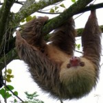 Two toed sloth in Puerto Viejo