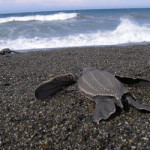 Leatherback on its way to the sea.