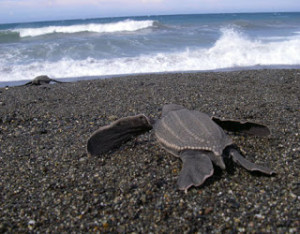 Leatherback on the way to he sea