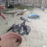 Free volunteer work in Ecuador: pelican with broken wing