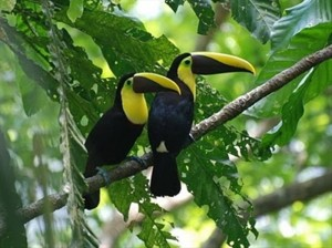 Chesnut Mandible toucans, the largest of the 12 species of toucans in Costa Rica