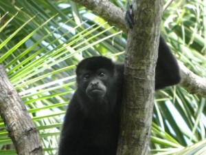 Sabbatical Howler monkey, Costa Rica. Visit many national parks during your sabbatical