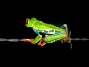 Red eye tree frog in Costa Rica, explore nature during your sabbatical